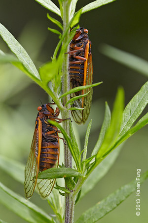 16 June: Periodical 17-year cicadas on Staten Island