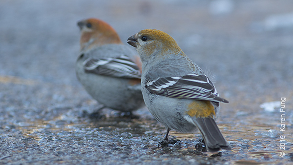 26 Feb: Pine Grosbeaks in Salem, NY