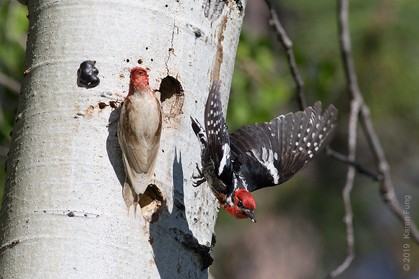 19 June: Leucistic male Red-breasted Sapsucker + female Red-naped x Red-breasted Sapsucker