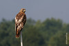 28 July: Adult Red-tailed Hawk at Croton Point Park
