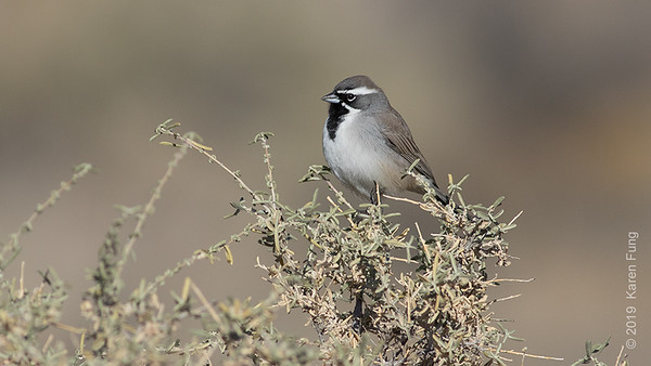 23 November: Black-throated Sparrow