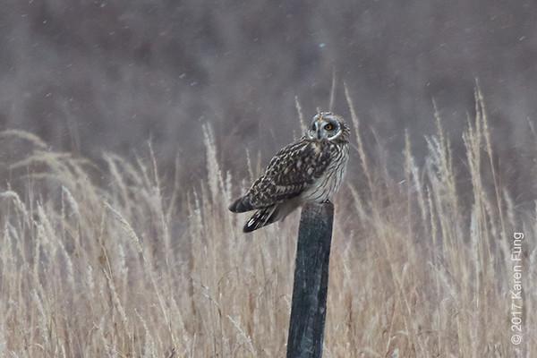 14 Jan: Short-eared Owl