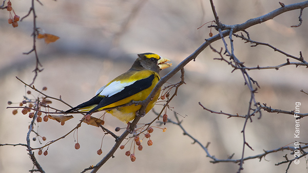 21 Jan: Evening Grosbeak in Riverside Park