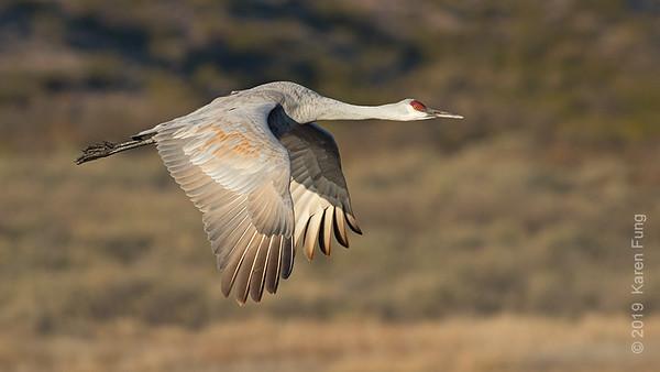 18 November: Sandhill Crane, Bosque del Apache