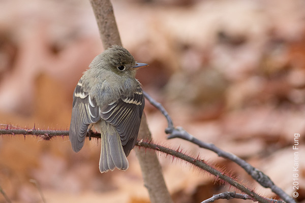 10 Dec: Empidonax Flycatcher, Inwood Hill Park