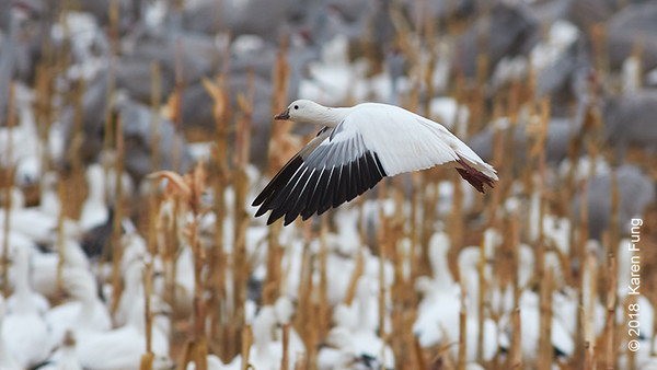 10 January: Ross's Goose at Bosque del Apache NWR