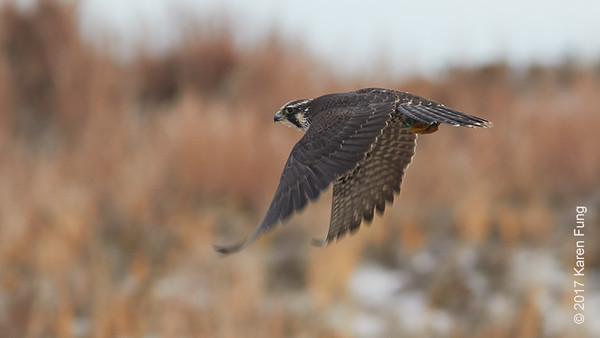 24 December: Peregrine Falcon at Jones Beach
