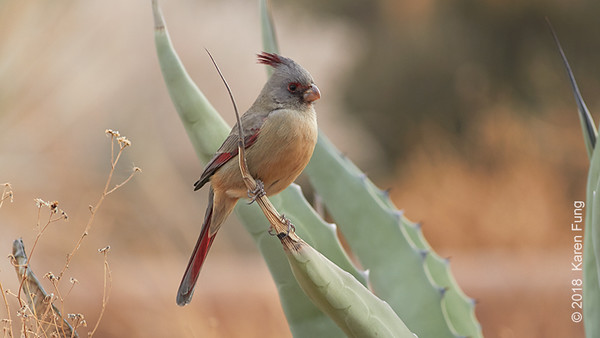 9 January: Pyrrhuloxia at Bosque del Apache NWR