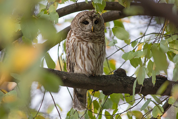9 December: Barred Owl