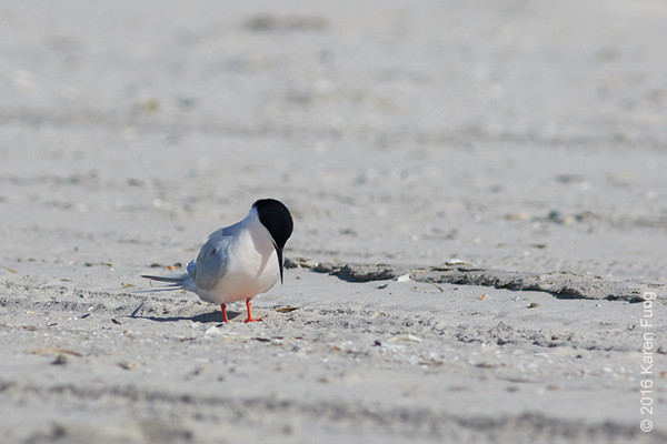 18 June: Roseate Tern