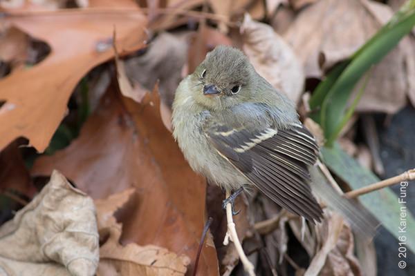 10 Dec: Empidonax Flycatcher, Inwood Hill Park