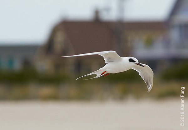 5 Oct: Forster's Tern in Cape May, NJ