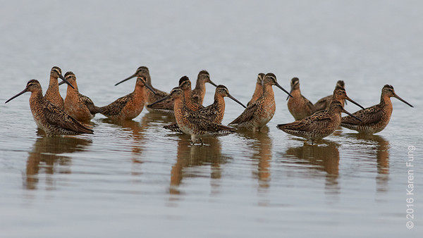 9 July: Short-billed Dowitchers at Jamaica Bay WR