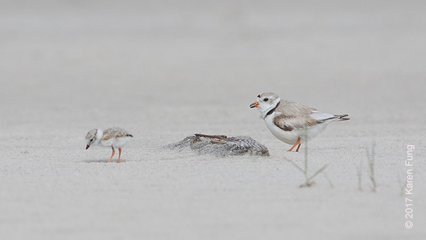 18 June: Piping Plover and Chick