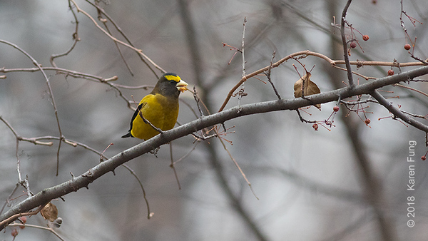 31 December: Evening Grosbeak in Riverside Park