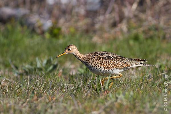 10 April: Upland Sandpiper in Oak Beach, Suffolk County