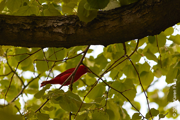 7 May: Summer Tanager in Riverside Park (and RSD),  Manhattan