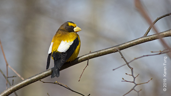 2 Feb: Evening Grosbeak in Riverside Park