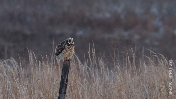 31 Dec: Short-eared Owl at dusk