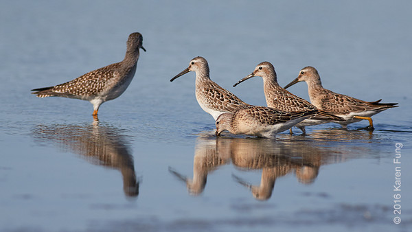 27 August: Stilt Sandpipers at Jamaica Bay WR