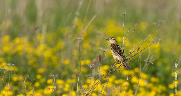 7 June: Female Bobolink at Shawangunk Grasslands NWR