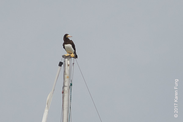 15 October: Brown Booby at Lake Montauk