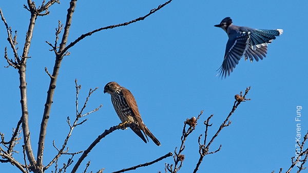 2 April: Merlin harassed by Blue Jay in Central Park