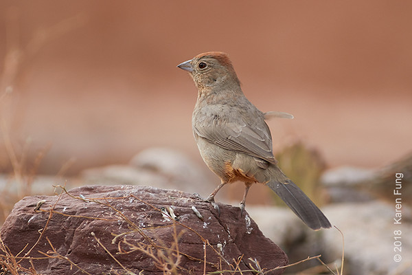 9 January: Canyon Towhee at Bosque del Apache NWR