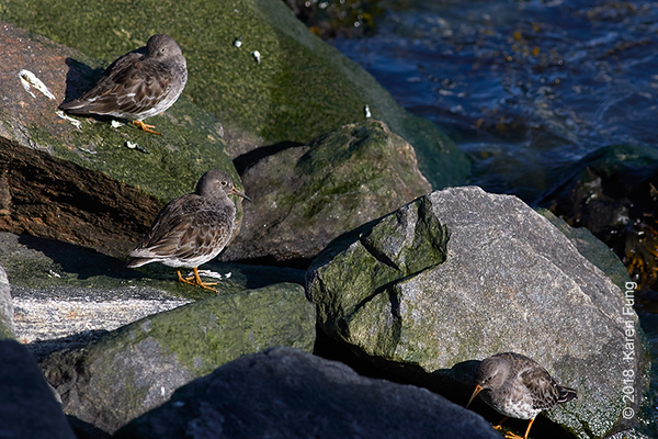 11 March: Purple Sandpipers on Roosevelt Island