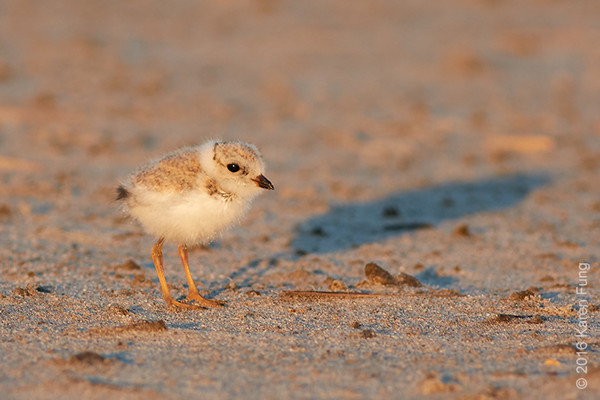 25 June: Piping Plover chick