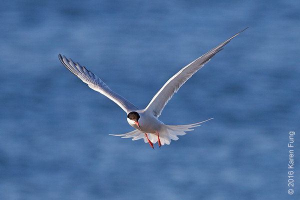 25 June: Common Tern