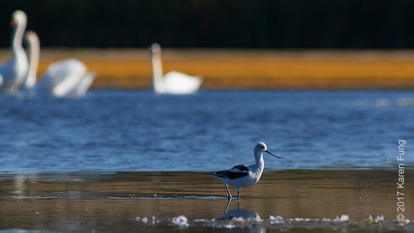 1 October: American Avocet
