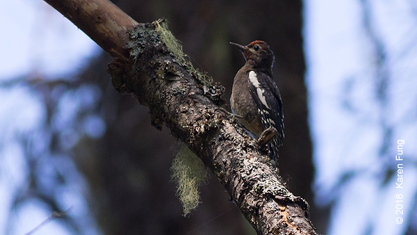 19 July: Juvenile Red-Breasted Sapsucker, Cascades