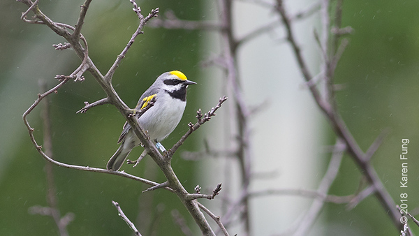 28 May: Golden-winged Warbler at Sterling Forest SP