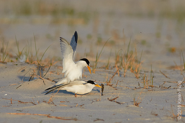 3 July: Least Terns