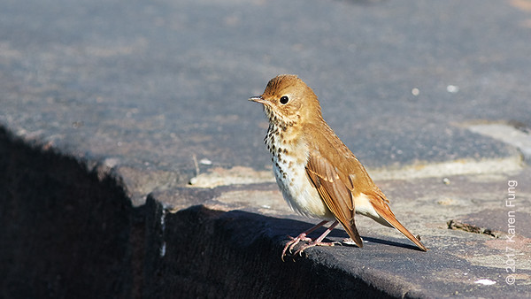 22 October: Hermit Thrush