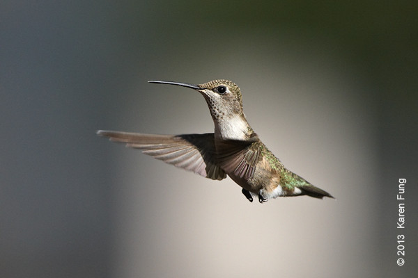 9 Sept: Black-chinned Hummingbird in New Mexico