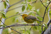 5 May: Prairie Warbler in Central  Park