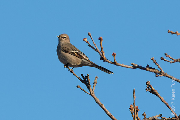 15 Jan: Townsend's Solitaire