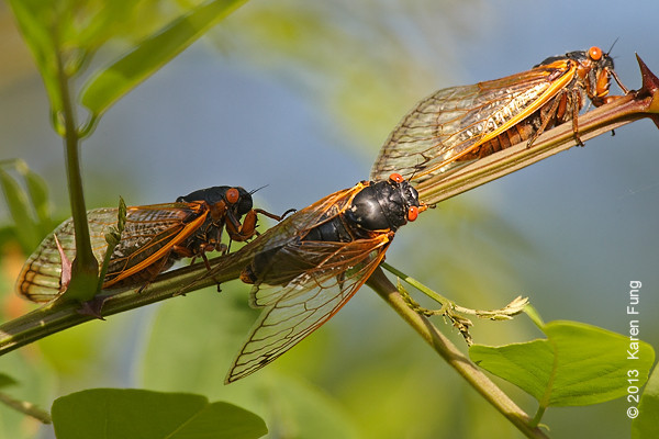 9 June: Periodical 17-year cicadas on Staten Island