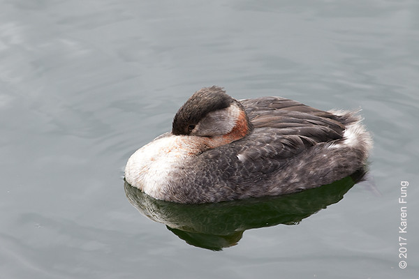 1 April: Red-necked Grebe