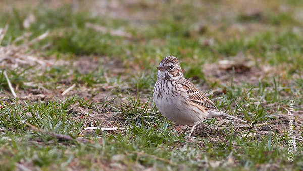 7 April: Vesper Sparrow, Central Park (Great Hill)