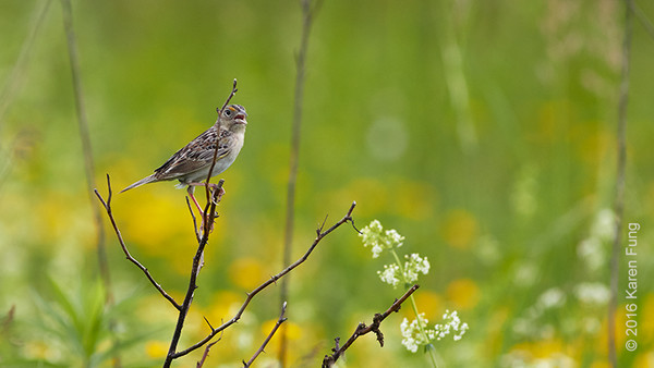 4 June: Grasshopper Sparrow singing