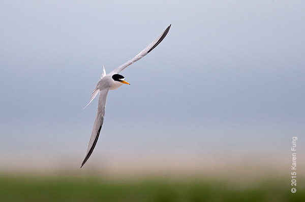 28 June: Least Tern at Jones Beach