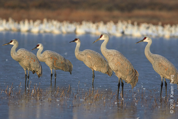 10 January: Sandhill Cranes at Bosque del Apache NWR