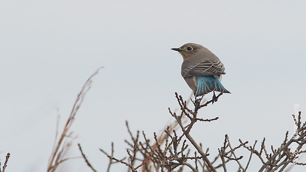 24 December: Mountain Bluebird at Robert Moses SP