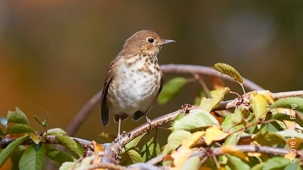 10 Nov Hermit Thrush
