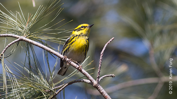 3 Feb: Townsend's Warbler at Trenton Sewage Ponds