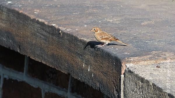 22 October: Vesper Sparrow