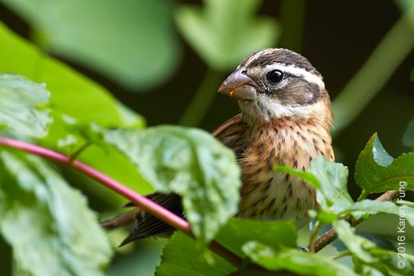 5 Sept: Rose-breasted Grosbeak in Central Park